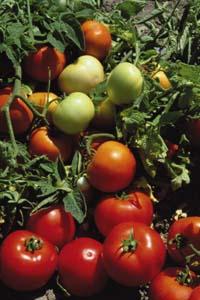 Tomate LOJAIN